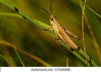 macro photo. grasshopper in grass