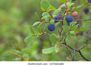 A macro photo of a great bilberry branch with dark blue fruits.