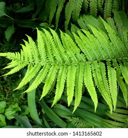 macro Photo of green fern petals. The plant fern blossomed. Fern on the background of green plants.