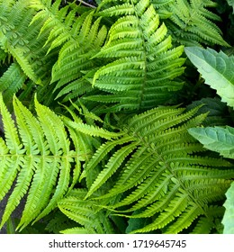 macro Photo of green fern petals. Stock photo  plant fern blossomed. Fern on the background of green plants.