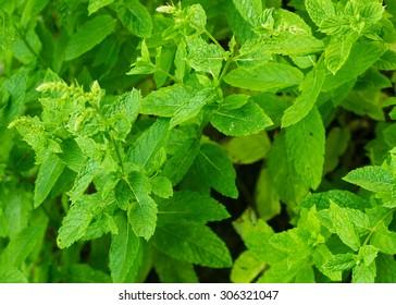 Macro photo of growing mint leaves