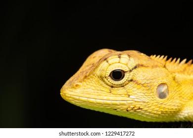 macro photo the head of changeable lizard/calotes versicolor