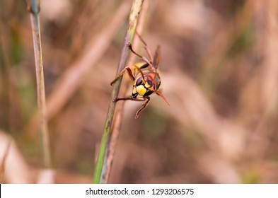 Macro photo of the hornet. Hornet head. Hornet on a straw. Front view.