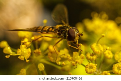 A macro photo of a Hoverfly on a yellow flower