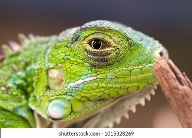Macro photo of an Iguana