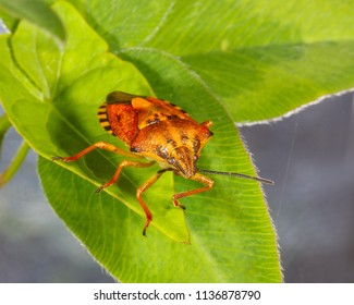 macro photo of insect bug stink on green leaves