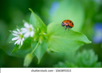 Macro photo of Ladybug in the green leaf. Close up ladybug in leaf. Spring nature scene.