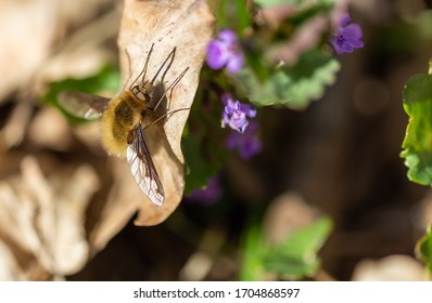 Macro photo of large bee-fly, Bombylius major sitting on leaf