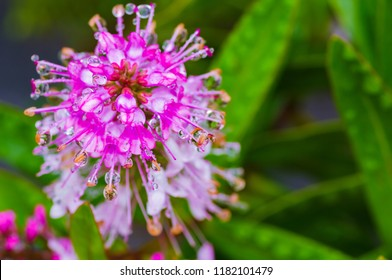 Macro photo of large drops of dew on a pink flower. Madeira. Portugal