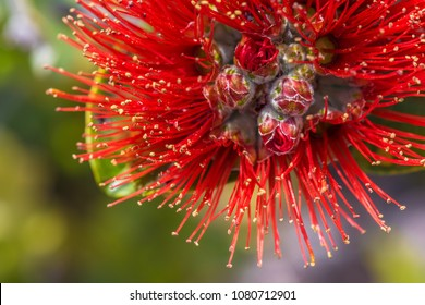 macro photo of the Lehua flower blossom on the ohia tree- taken from hawaii volcanoes national park on the big island of hawaii