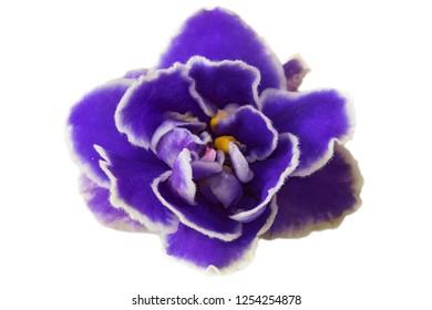 macro photo of light blue violet isolated flower. Blue Colored African Violet Flower Isolated on White Background. Macro.