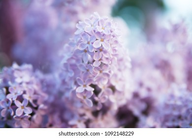 macro photo of the lilac in garden