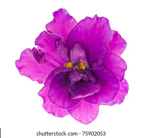 macro photo of lilac violet isolated flower