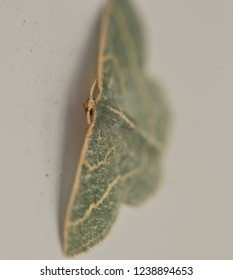 Macro photo of little green moth.