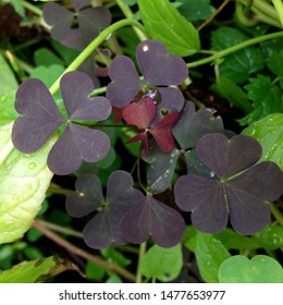 Macro Photo of a lucky plant clover. Flower plant clover with violet petals. Clover bouquet grows in the ground against the background of green leaves and plants