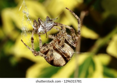 Macro photo of male  spider captured by the much bigger female.In many spider species, females eat the males after sex