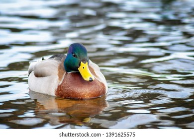 macro photo of a male wild Mallard