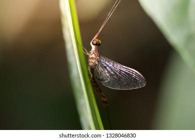 Macro photo for mayflies.