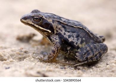 Macro photo of a moor frog in Dwingelderveld, the Netherlands