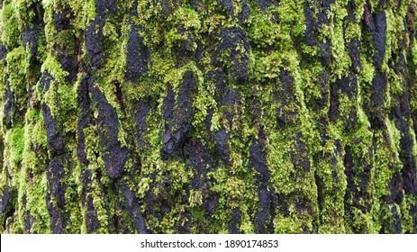 Macro Photo of Mossy pine bark