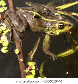 Macro photo nature amphibious marsh frog. The animal Green Toad sits on in water. Texture background frog toad on the water surface