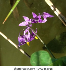 Macro photo nature blooming Aquilegia flower. Background opened buds of columbine flower of violet color. An image of purple flowers growing in water