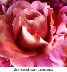 Macro photo nature blooming bud of a pink rose. Background opened rose bud. Rosebud with pink petals.