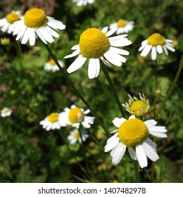 Macro photo nature blooming bud daisy flower. Background opened bud of white chamomile. Wild daisy flowers with white petals grow on the field