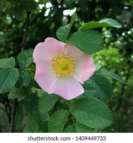 Macro photo nature blooming bud dog rose. Background of opened buds of wild rose with rose petals. Plant flowering bush wild rose with rosebuds