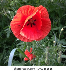 Macro photo nature blooming bud flower poppy. Background of opened buds of poppies with red petals. An image of a field with blooming poppies