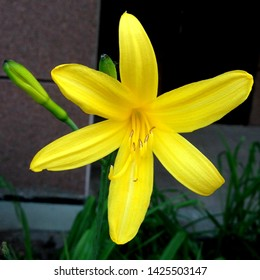 Macro photo nature blooming flower Lilium. Background texture blooming yellow flowers lily. Image of a plant June blooming yellow lily