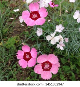 Macro photo nature blooming flower of pink carnation. Background clove plant with pink and open bud. Image plant blooming carnation field