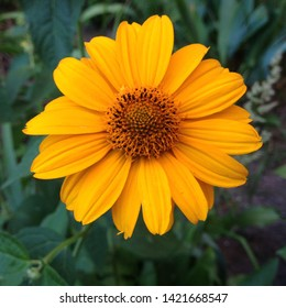 Macro photo nature blooming yellow flower Rudbeckia. Background texture plant Rudbeckia flower, coneflowers, black-eyed-susans. Image plant blooming rudbeckia, yellow daisy, sunflower