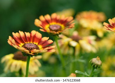 Macro photo nature blooming yellow flower Rudbeckia. Image blooming sunflower daisy flowers. Background texture plant Rudbeckia flower, coneflowers, black-eyed-susans