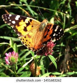 Macro photo nature butterfly sitting on a clover flower. Background blooming red clover and butterfly. An image of a butterfly sitting on a clover