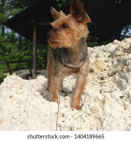 Macro photo nature dog Yorkshire terrier. Pet Puppy dog ​​Yorkshire terrier sitting on a mountain of white sand. Dog breed yorkie terrier on the beach.