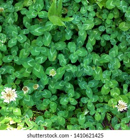 Macro photo of nature field blooming clover. Background texture green clover with white flowers. An image of a field of flowering clover.
