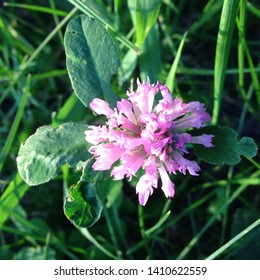 Macro photo nature field blooming clover flower. Background texture green clover with pink flowers. An image of a field of flowering clover.