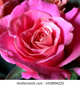 Macro photo nature flower pink rose. Background texture of fluffy blooming flower of crimson rose. Image plant blooming flower bud of pink rose