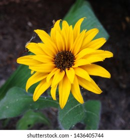 Macro photo nature flower yellow daisy. Texture background blooming yellow daisy looks like a sunflower. An image of yellow daisy flowers