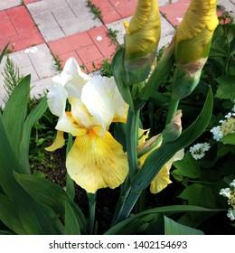 Macro photo nature flowers yellow irises. Background blooming flowers yellow irises grow in a flowerbed.