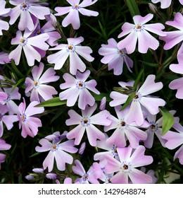 Macro photo nature lilac wild Phlox subulata flower. Texture background blooming Phlox subulata wildflower. The image of a plant blooming lilac purple Phlox subulata