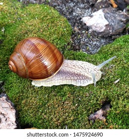 Macro photo nature mollusk snail Helix pomatia. Snail on the background of moss.