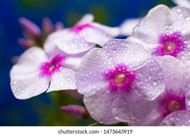 Macro photo nature Phlox subulata flower. Texture background blooming Phlox. The image of a plant blooming Phlox.