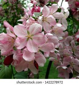 Macro photo of nature pink sakura flowers. Texture background blooming pink sakura flower. Images of the flower Japanese Sakura with pink buds.