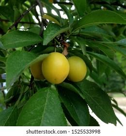 Macro photo nature plant apricot tree. Yellow Apricot fruit on branch