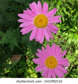 Macro photo nature plant flower Pyrethrum daisy. Background texture of a blooming pink daisy flower. An image of a Pyrethrum daisy with pink petals