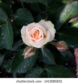 Macro photo nature plant flower rose. Background texture blooming flower pink coral rose. An image of a rose bud with pink petals