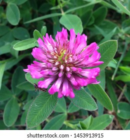 Macro photo of nature plant flower clover. Background texture of a blooming wild flower clover. Image of field red flower clover