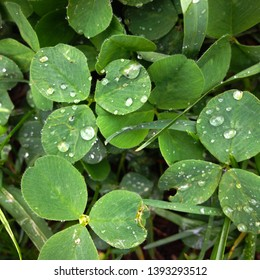Macro photo of nature plant green clover. Background texture Clover with dew drops. Clover for good luck growing in the meadow